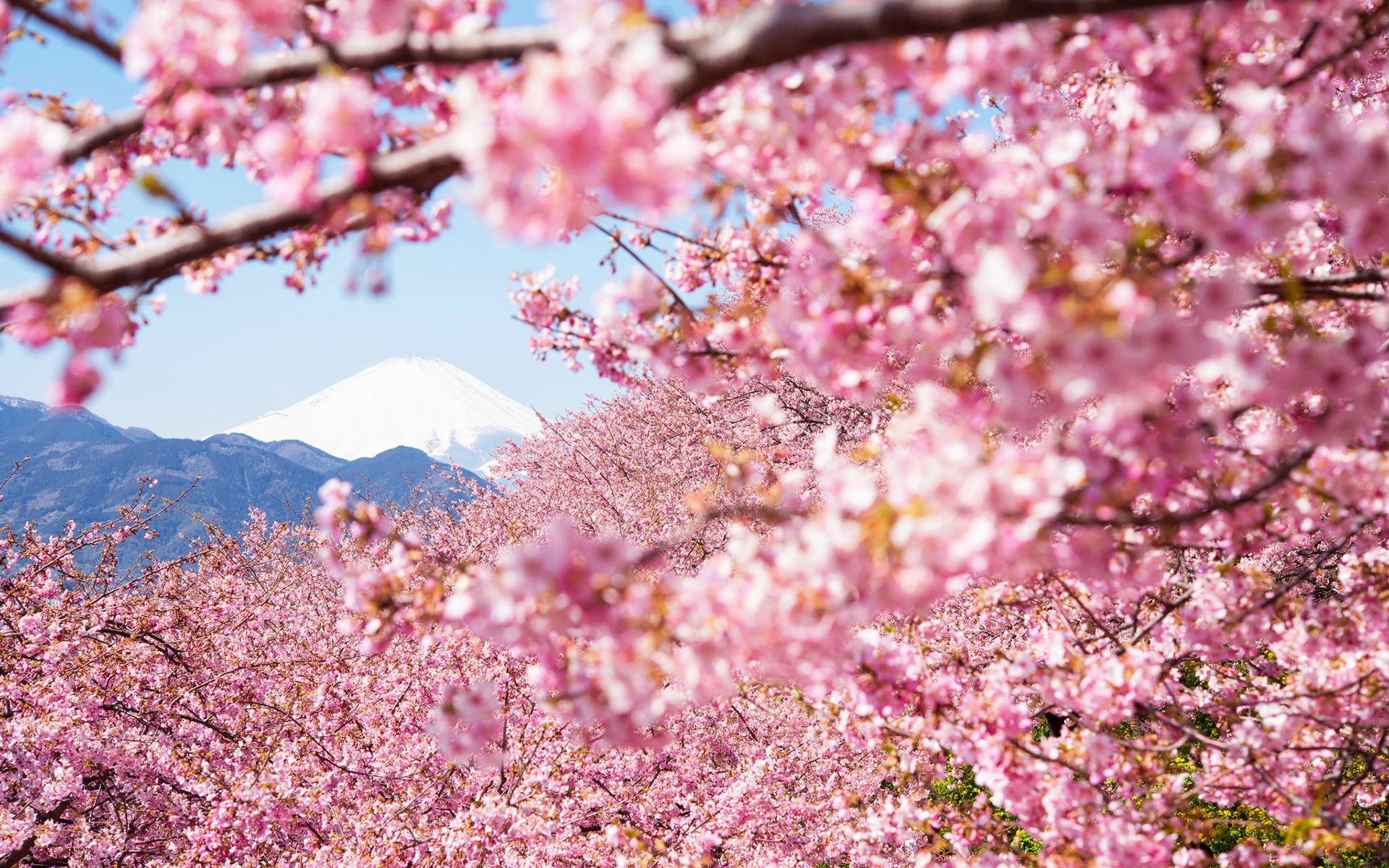 浪漫唯美的樱花