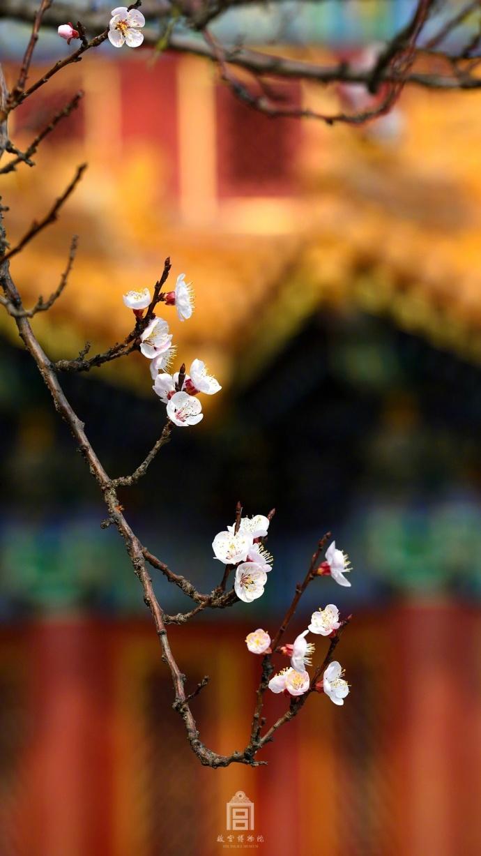 故宫杏花唯美大自然风景图片大全