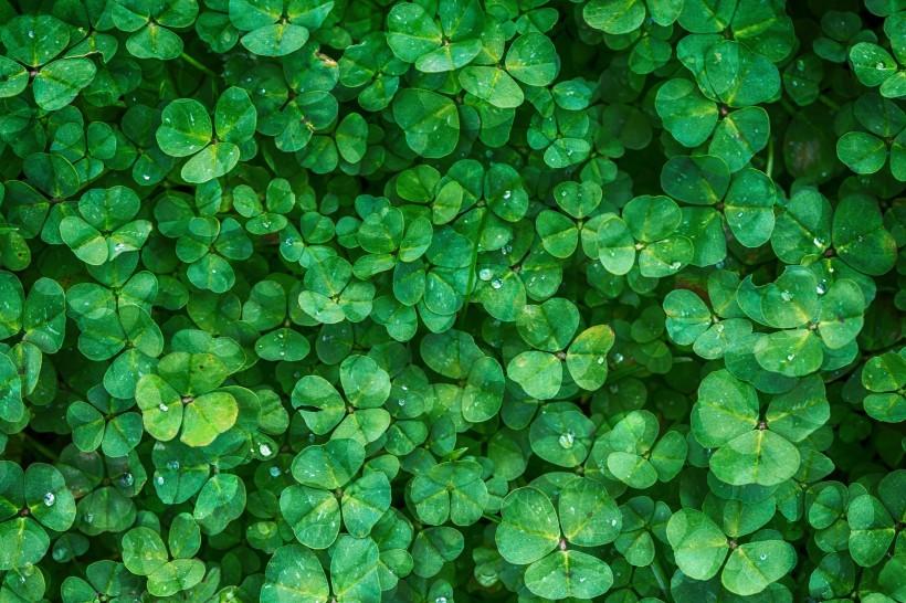 马来西亚四叶草绿色植物图片大全