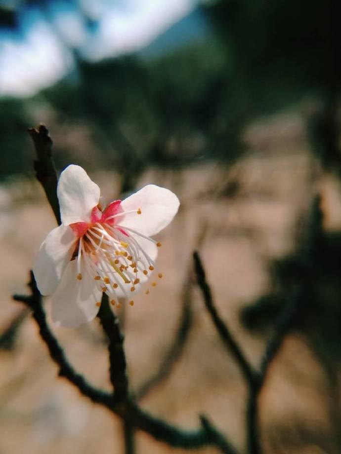 凌寒独开的梅花微距花卉摄影图片大全