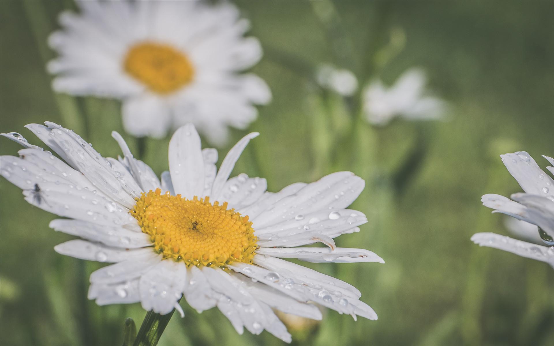 意大利国花雏菊图片高清宽屏桌面壁纸