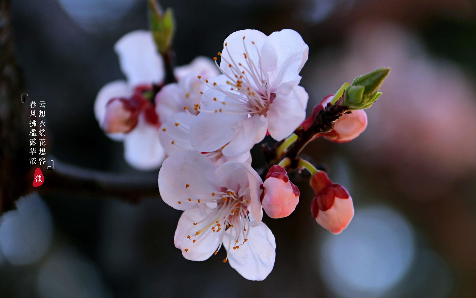 盛开的春雨杏花图片最新全屏桌面壁纸