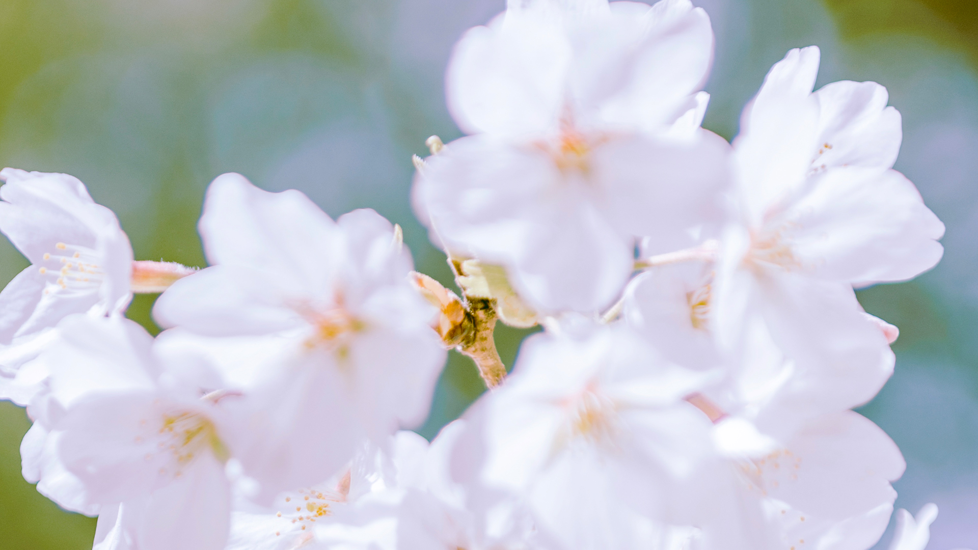 盛夏的樱花树唯美图片苹果电脑宽屏壁纸