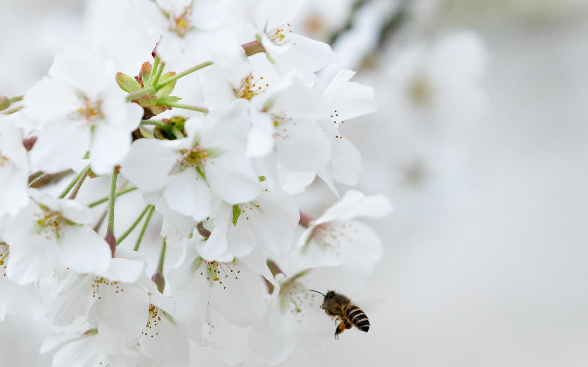 野外盛开的纯白色鲜花浪漫唯美电脑壁纸