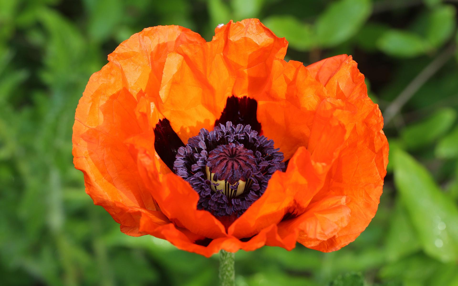 鲜艳红火的罂粟花图片个性桌面壁纸下载