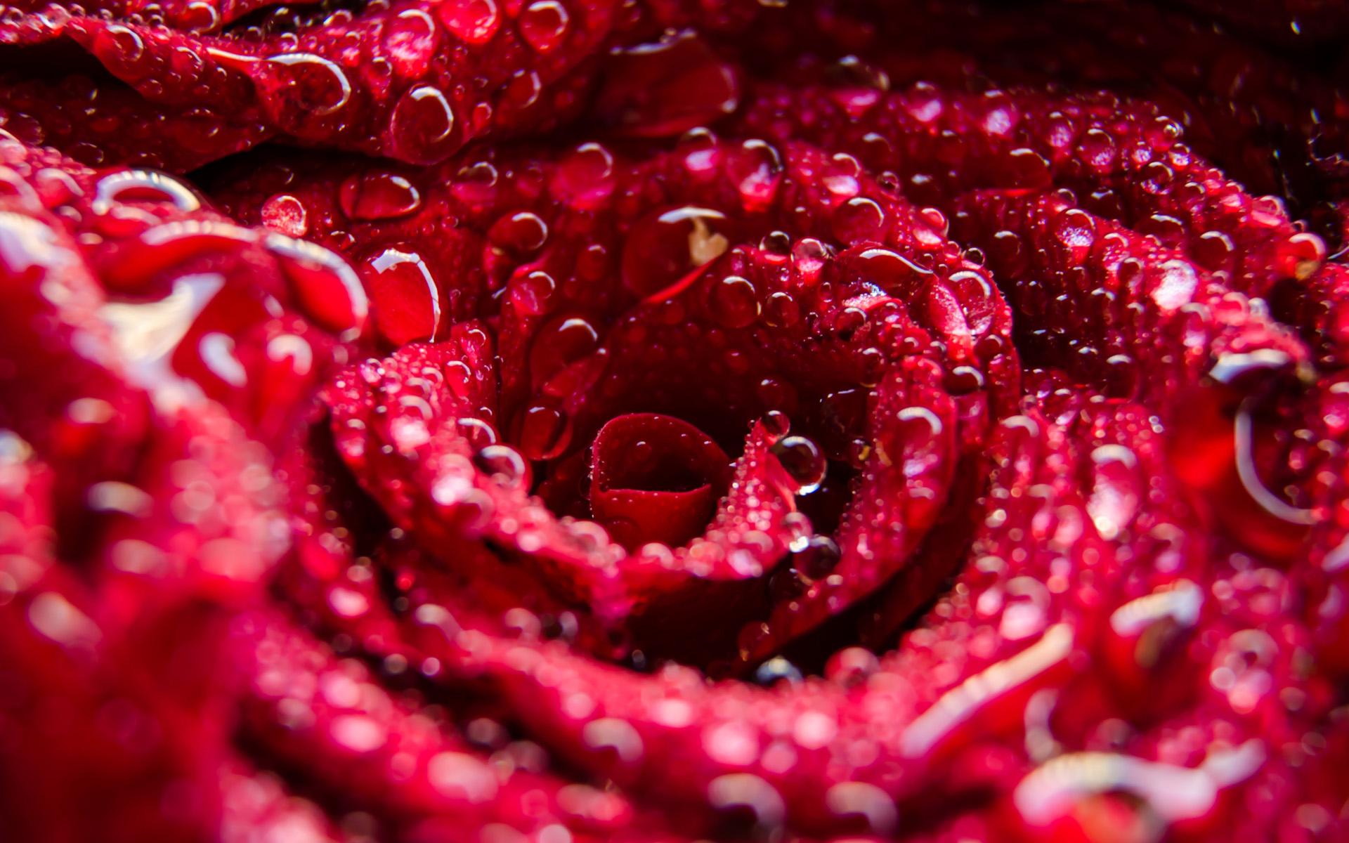 一束红玫瑰图片好看的电脑桌面壁纸
