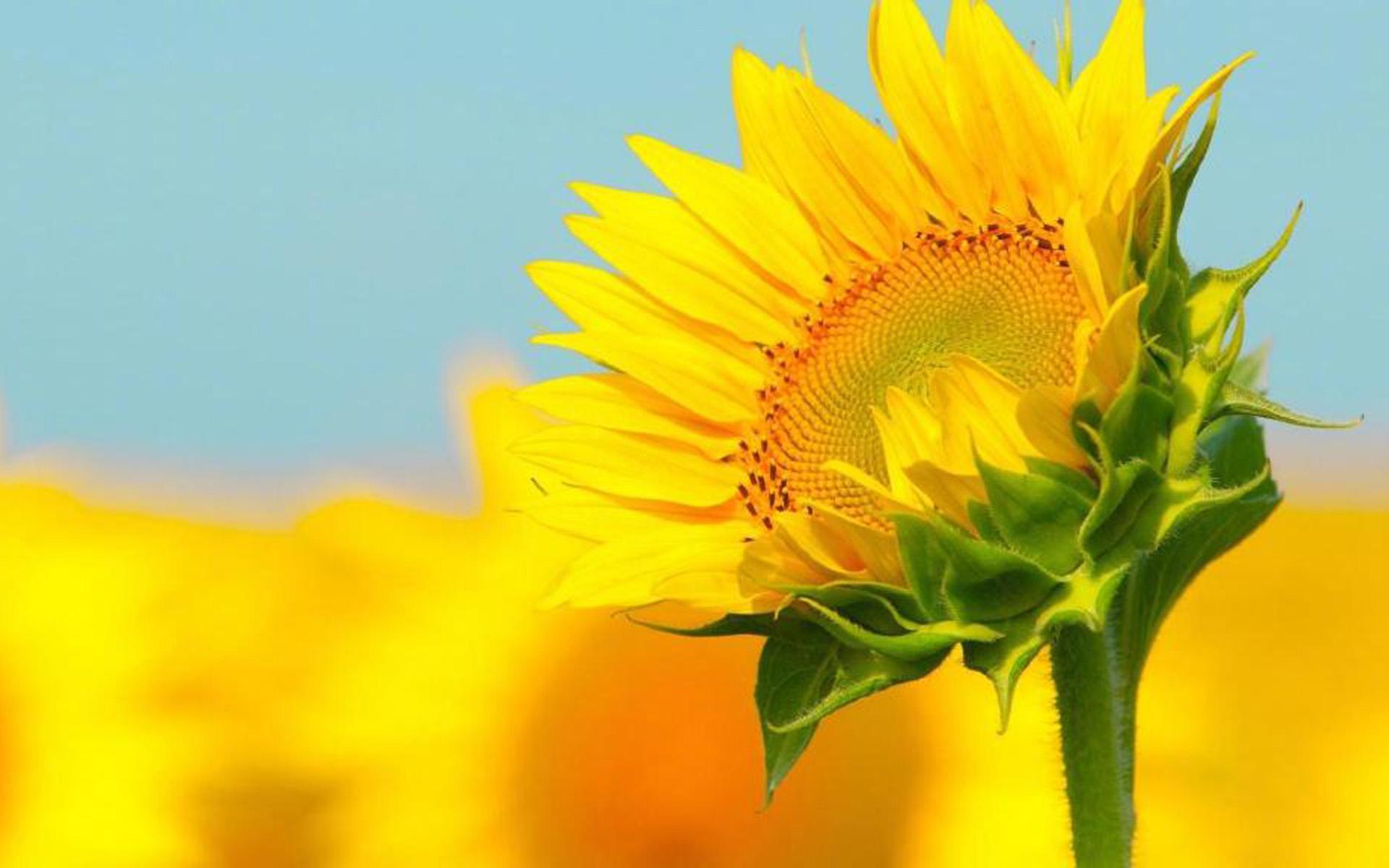 阳光唯美向日葵植物花卉高清桌面壁纸