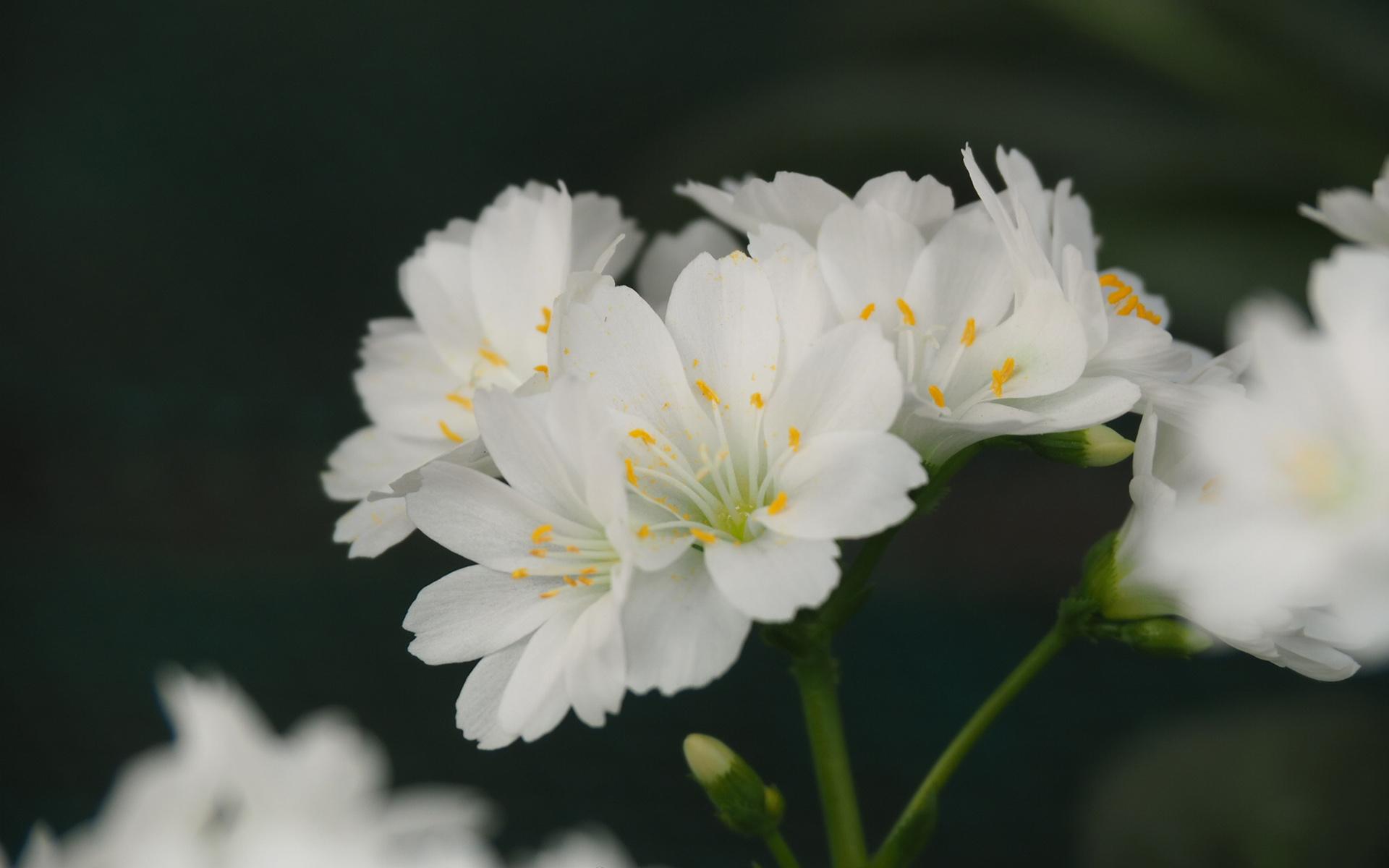 白色的花朵露薇花唯美护眼高清桌面壁纸
