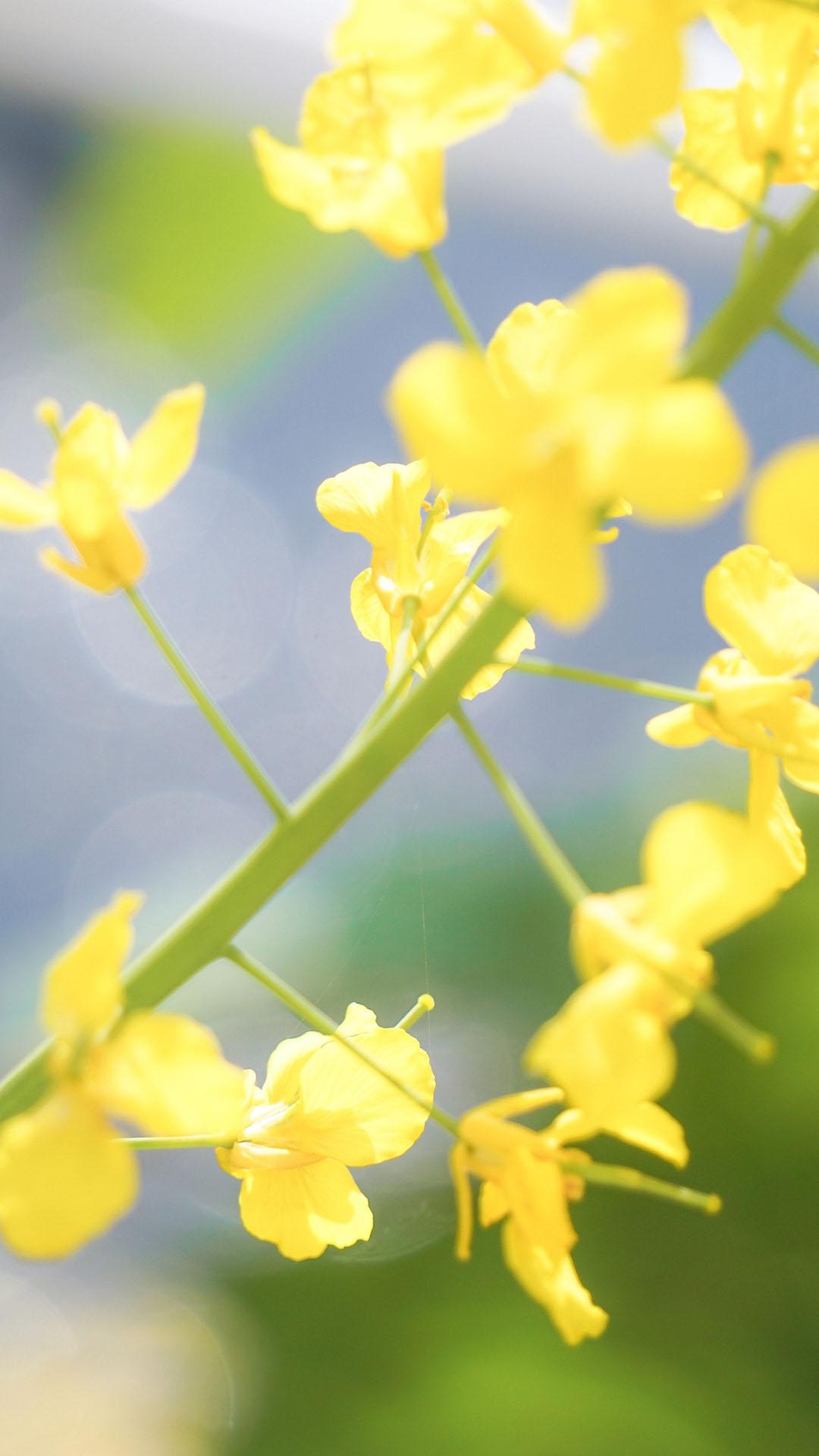 清新好看的油菜花植物花卉壁纸图片