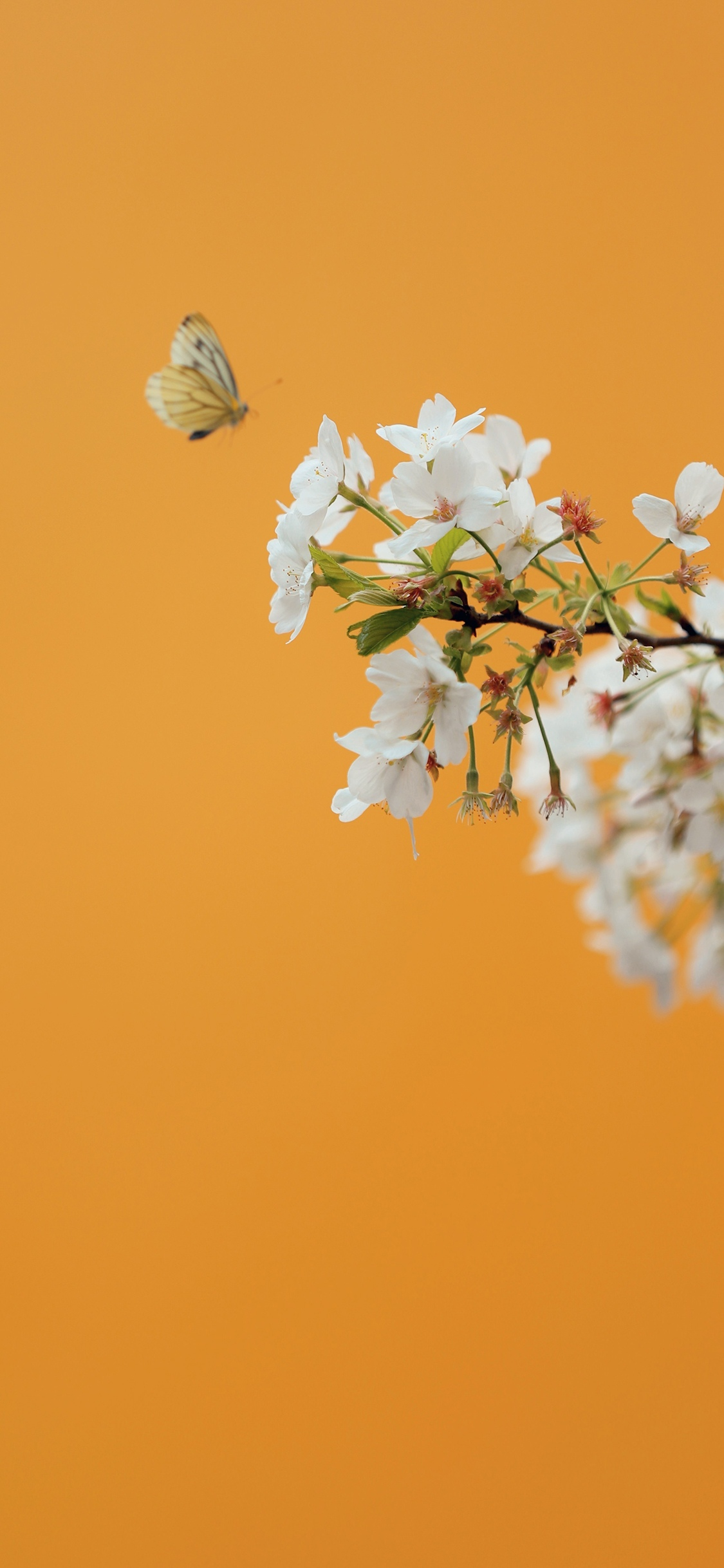 清新的樱花唯美养眼图片