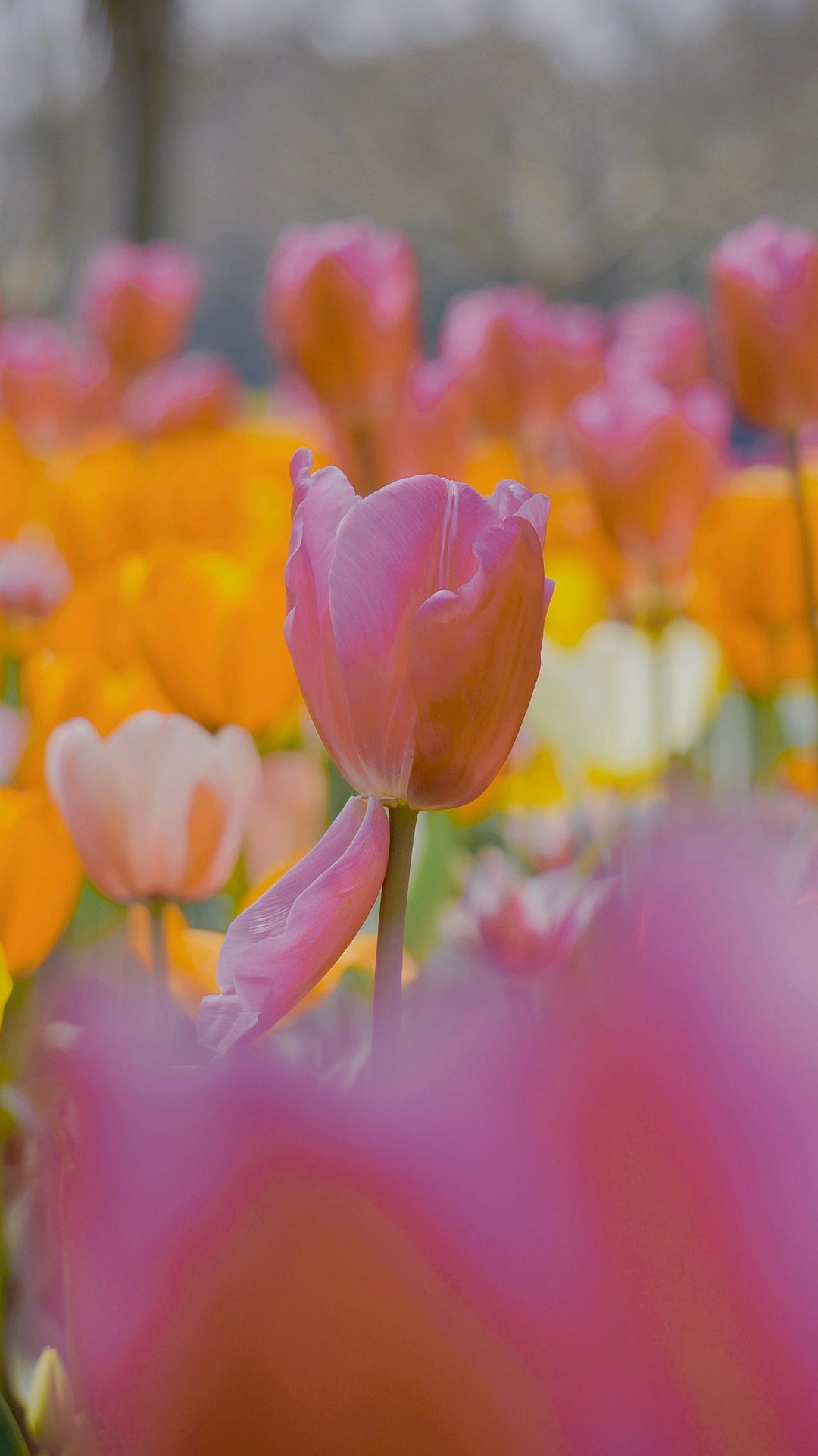 春光养眼的郁金香图片