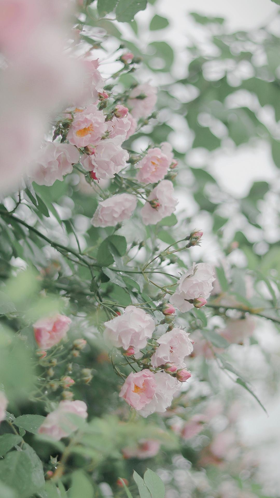 美丽蔷薇花高清图片