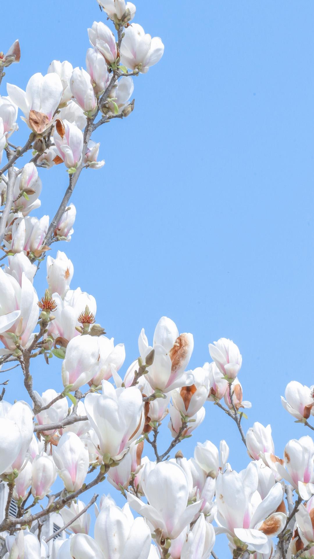 高雅有气质唯美玉兰花壁纸图片大全大图