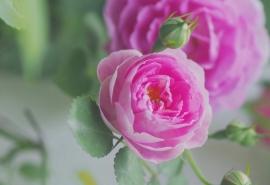白色野蔷薇花图片动态电脑桌面壁纸